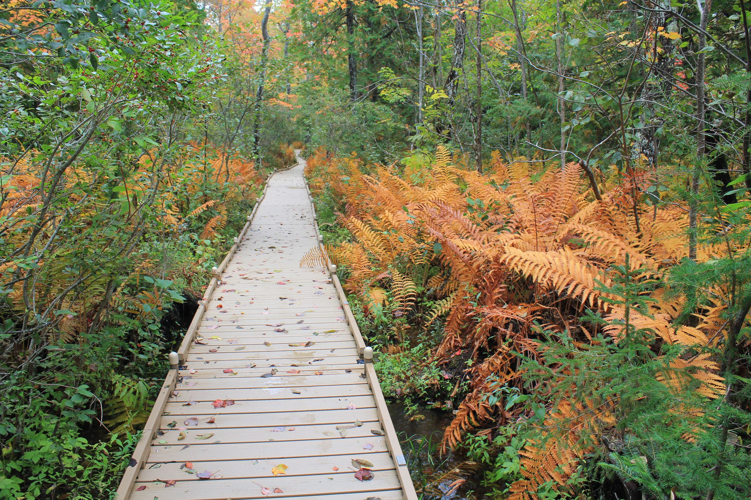 IMG_6853.JPG, boardwalk, ferns orange